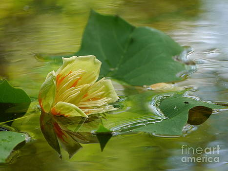 Tulip Tree Flower by Jane Ford