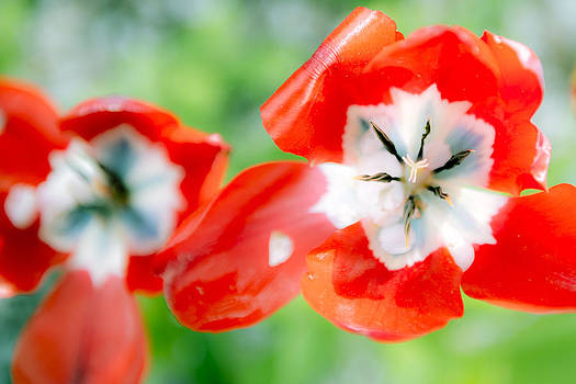 Tulip Twins by Courtney DeGregorio