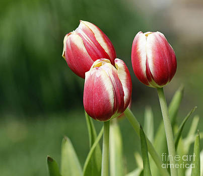 Tulips 1 by Denise Pohl