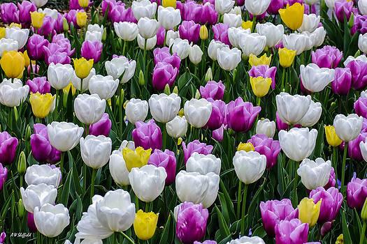 Allen Sheffield - Tulips