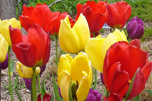 Tulips at the Garden  by Sandy Mertens