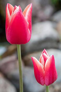 Tulips by Bjoern Vilcens