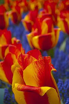 Tulips by Cathy P Jones