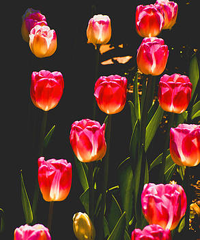 Tulips by Fred L Gardner