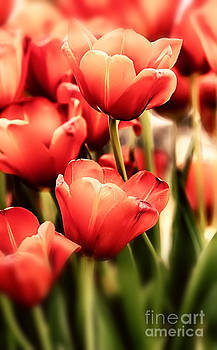 Simon Bratt Photography LRPS - Tulips in pastel colors