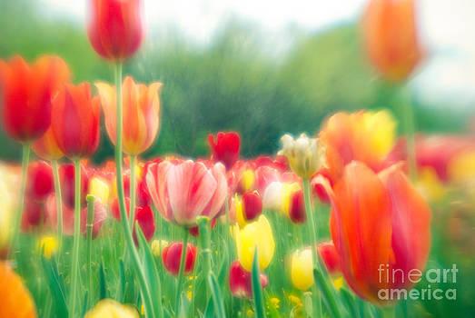 Sonja Quintero - Tulips in Spring