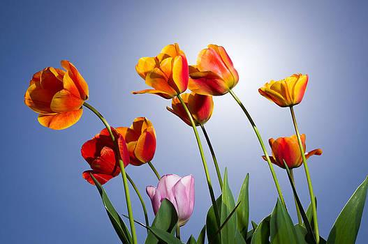 Tulips in Sun light by Trevor Wintle