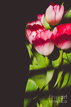 Tulips in the Light IV by Chris Ann Wiggins
