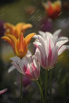 Tulips in the Rain by Phyllis Peterson
