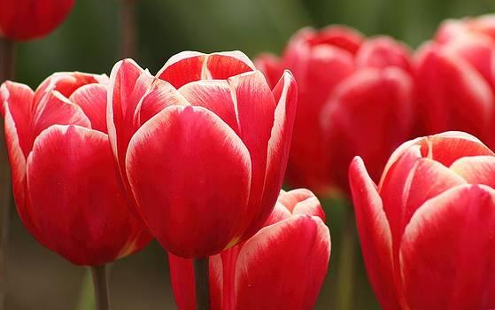Tulips by Jennifer Wheatley Wolf