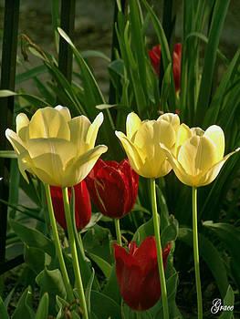 Tulips by Julie Grace