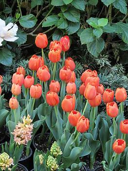 Tulips by Ricardo Antoni
