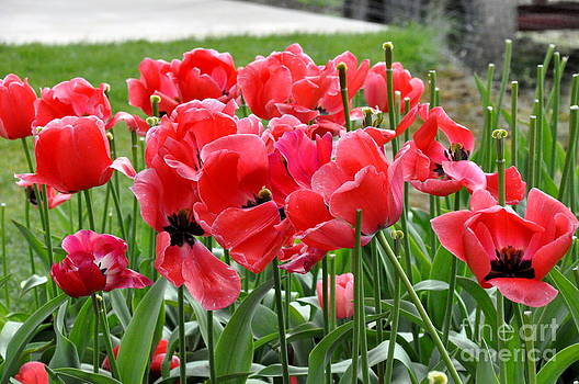 Breezy Day Tulips by Tanya  Searcy