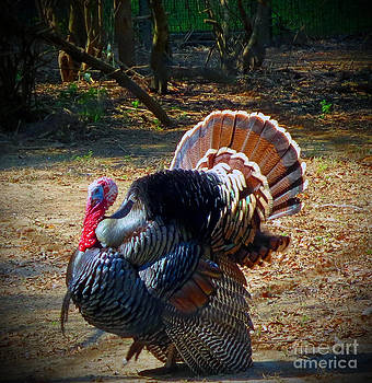 Turkey Tom by Lisa Jones