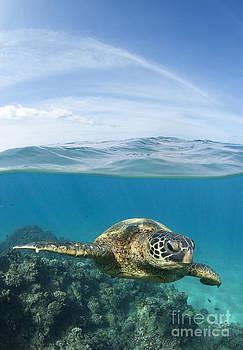Turtle at Black Rock by David Olsen