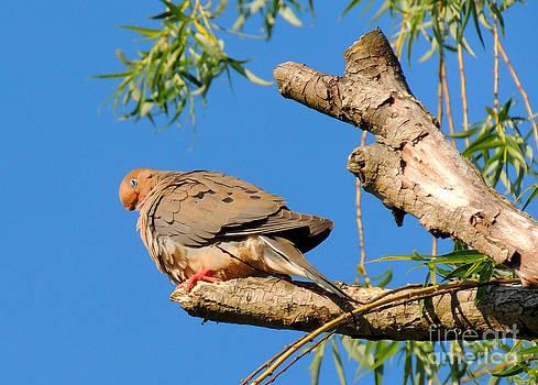 Turtle Dove Sleeping by Pamela Rivera