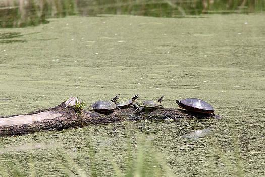 Adrienne Franklin - Turtle Line