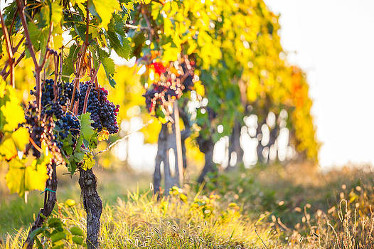 Tuscany grapes in vineyard  by Cristian Mihaila