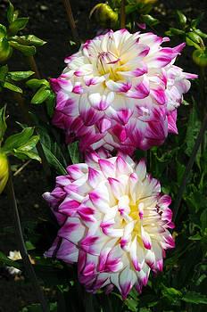 Twin Dahlias by Thomas J Rhodes