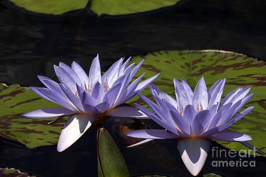 Byron Varvarigos - Twin Lavender Tropical Waterlilies