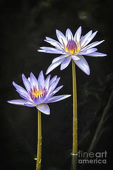 Twins Water Lilies by Eyzen Medina