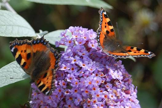 Two Butterflies by Geoff Cooper