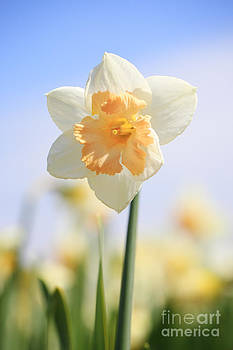 LHJB Photography - Two colored Daffodil