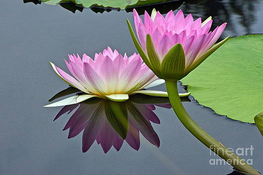 Byron Varvarigos - Two Pink Waterlilies with Reflection