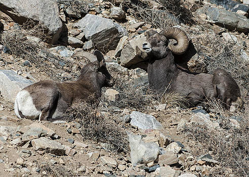 Two Rams by Stephen  Johnson
