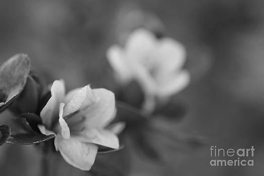 Azalea Glance by Cathy Dee Janes