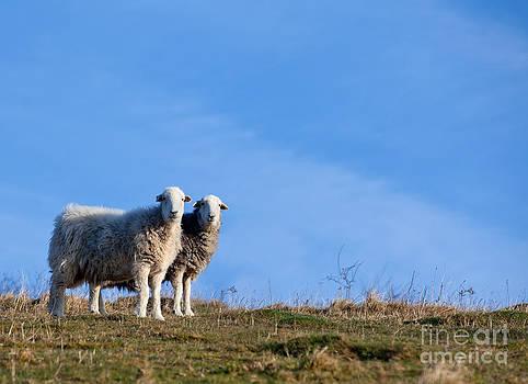 Simon Bratt Photography LRPS - Two sheep standing together