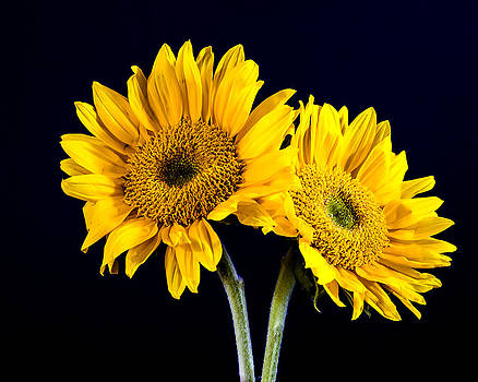 Two Sun Flowers by Joie Cameron-Brown