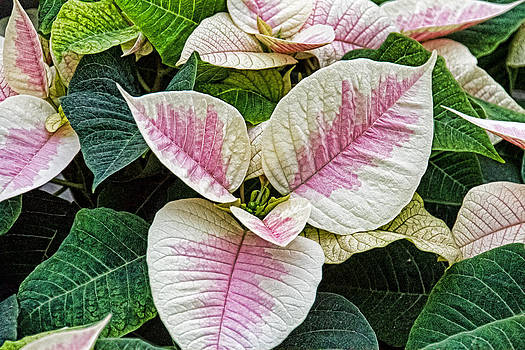 Two Toned Poinsettia by Wayne Stabnaw