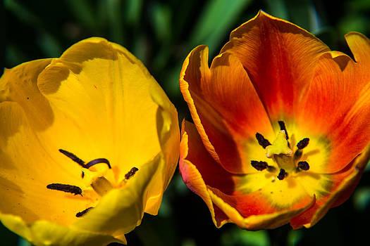 Two Tulips by John Baumgartner