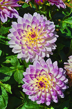Two Who Dun It Dahlia Flower by Thomas J Rhodes