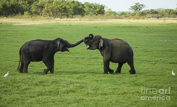 Patricia Hofmeester - Two young male elephantys play fighting