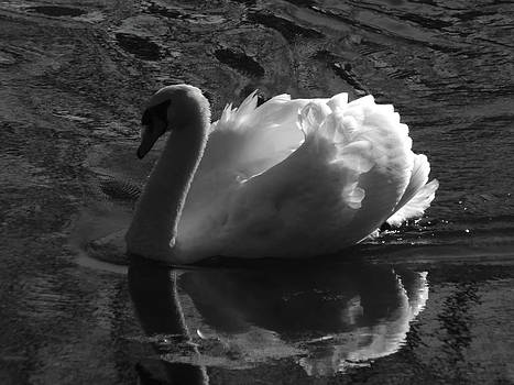 Pamela Phelps - Unfolding Wings  Swan of Light