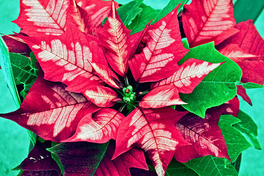 Unique Poinsettia by Wayne Stabnaw