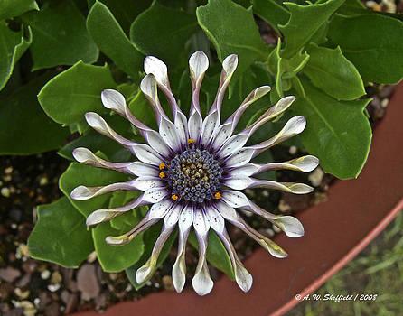 Allen Sheffield - Unknown Flower