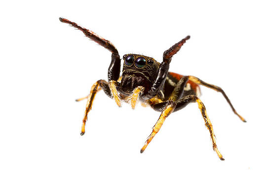 Unknown Jumping Spider by JP Lawrence