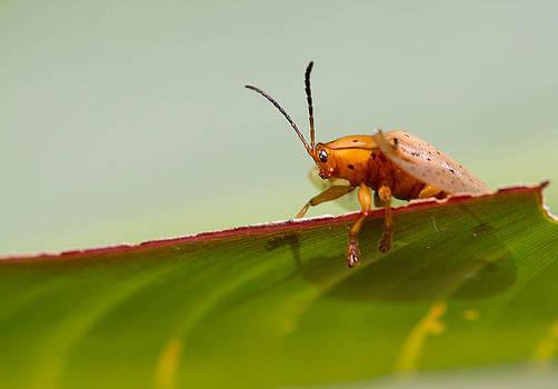Unknown Shield Beetle by JP Lawrence