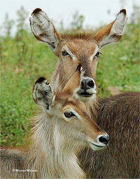 Up Close The Waterbuck Mother And Daughter by Judith Meintjes