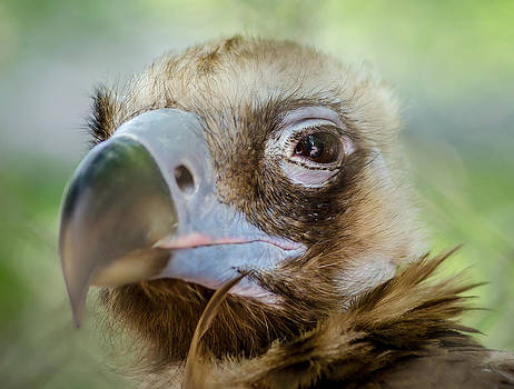 Up Close With A Cinereous Vulture by Anthony Morganti