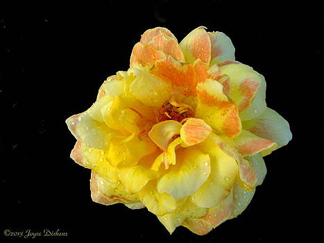 Joyce Dickens - Variegated Yellow Rose