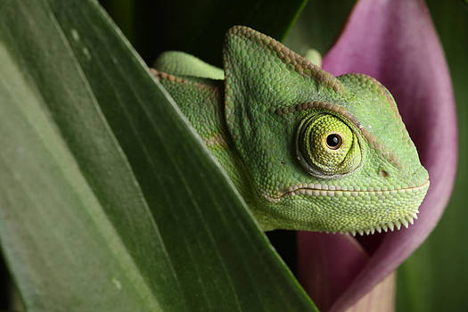 Veiled Chameleon On Cala Lilly by David Kenny