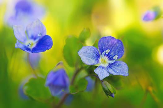 Veronica Spring by Sarah-fiona Helme