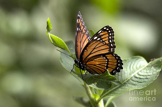 Viceroy Butterfly by Meg Rousher