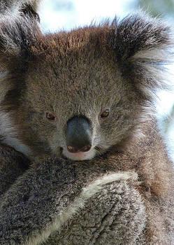 Margaret Saheed - Victorian Koala