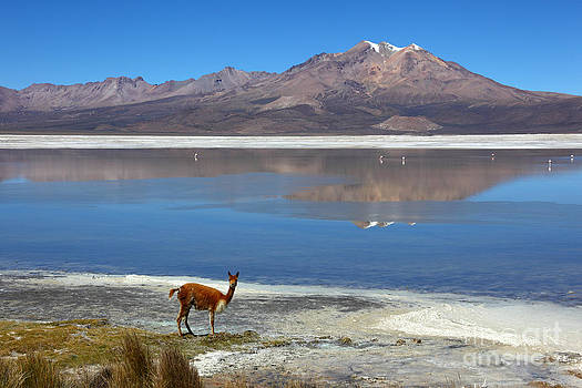 James Brunker - Vicuna at Salar de Surire