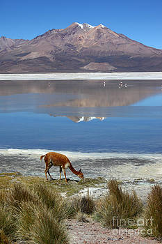 James Brunker - Vicuna grazing at Salar de Surire